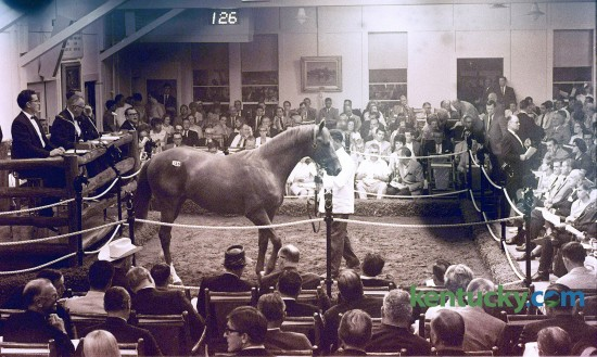 A chestnut yearling colt of Raise A Native and Gay Hostess was shown in the Keeneland Summer Sales ring in July 1967. Canadian oilman Frank McMahon paid $250,000 for tthe colt consigned by Leslie Combs II's Spendthrift Farm. Published in the Lexington Leader July 25, 1967.