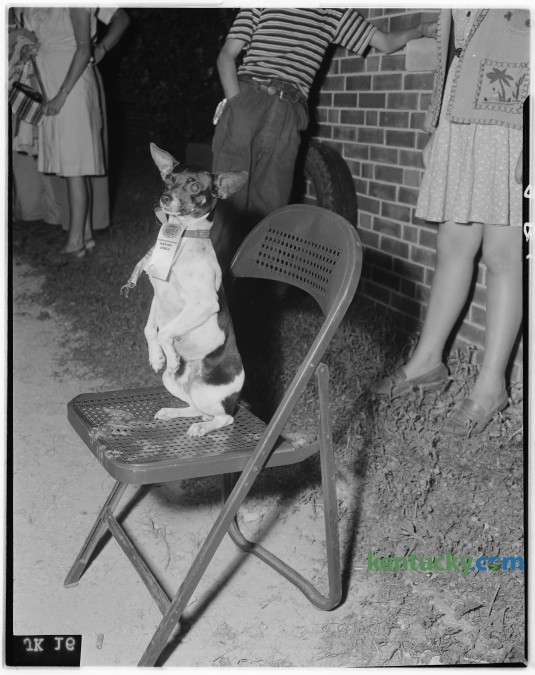 Lexington playground pet show pictures. Boogie Woogie, first-prize in trick dog class, a toy English terrier owned by Elmer Oliver. Published in the Lexington Herald-Leader July 14, 1946. Herald-Leader Archive Photo
