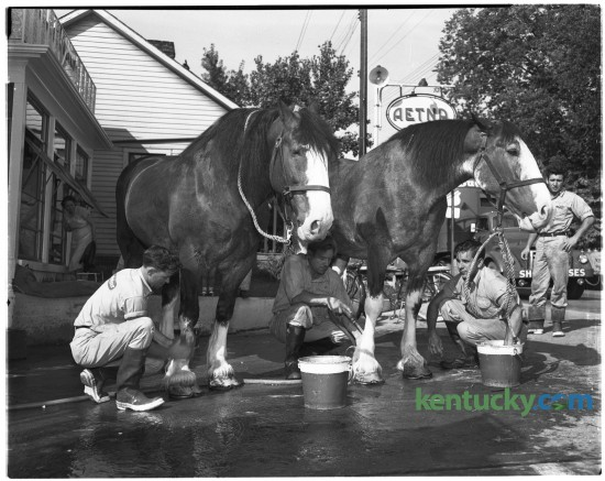 Clydesdales Gordie and Grant, two members of the famous eight-horse hitch owned by the Anheuser-Busch brewery of Saint Louis received expert grooming while stabled at a Lexington service station at Third and Jefferson streets in Lexington in July of 1950.  The grooms are Pete Binning, Whitey Mueller and Tom Lambing, all of Saint Louis.  Published in the Lexington Leader July 27, 1950. Herald-Leader Archive Photo